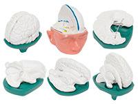 脑模型(一套6件)