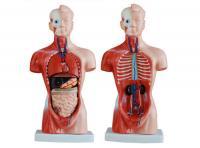 人体半身模型 半身人体模型15件26CM