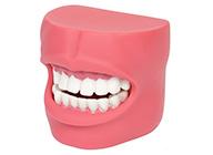 牙护理保健模型(带脸颊)