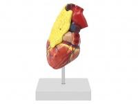 心脏附胸腺模型