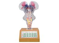 电动脑干模型(II型)