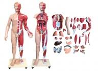 人体全身层次肌肉附内脏模型170cm