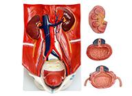 泌尿系统模型 泌尿系统附腹后壁模型