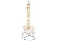 脊柱带骨盆与股骨头(半腿骨)模型
