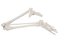 下肢骨带髋骨模型