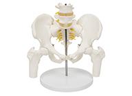 骨盆附腰椎与股骨头模型