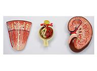 肾与肾单位、肾小球放大模型