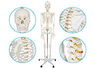 女性全身人体骨骼模型