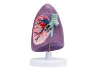 支气管右肺解剖模型