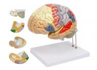 脑解剖模型(放大2倍,4部件)
