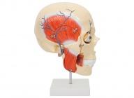 人体咀嚼肌颌面部深层解剖模型