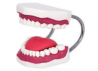 口腔牙齿护理模型