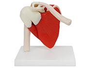 肩关节附肌肉韧带模型