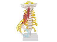 颈椎肌肉带脑干附神经模型