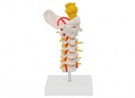 颈椎带枕骨脑干模型