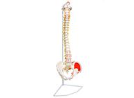 脊柱带骨盆附肌肉着色模型