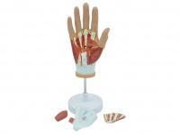 手部肌肉血管神经解剖模型