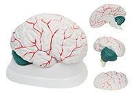 脑解剖模型(3部件)