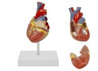 心脏解剖模型(带数字标识)