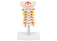 颈椎模型 颈椎带颈动脉模型