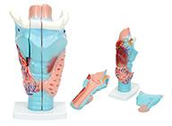 上海 模型/喉软骨模型 咽喉解剖模型