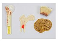 骨骼构造模型 骨的构造模型