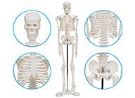 人体骨骼标本模型