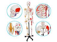 人体骨骼附关节韧带和肌肉起止点着色模型(带数字标识)