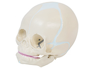 新生儿头颅骨模型