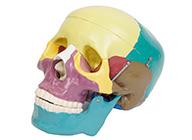彩色头颅骨模型