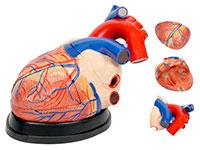 心脏解剖放大模型