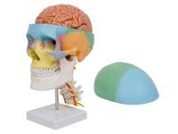 彩色头颅骨带7节颈椎及脑动脉模型