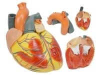 心脏解剖放大模型(放大3倍,3部件,带数字标识)
