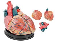 大心脏模型