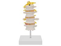 四节腰椎模型