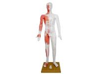 人体针灸模型(标准人体针灸穴位模型)