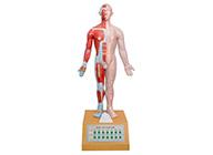 电动语言十四电动针灸模型