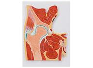 髋关节剖面模型