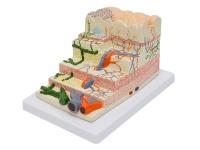胃壁层次结构模型