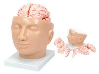 颅脑模型 头解剖附脑动脉模型