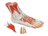 足解剖模型(3部件)