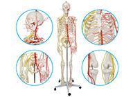 人体骨骼附动脉和神经分布模型