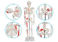 人体骨骼附肌肉着色模型85CM