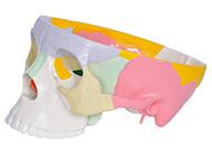 彩色颅底解剖放大模型