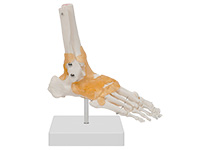 功能型足关节模型 踝关节模型