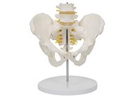 骨盆带腰椎模型